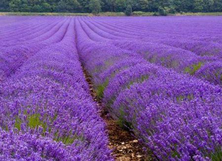 1140718_com_lavender